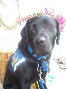 Successor Service Dog from Canine Companions for Independence