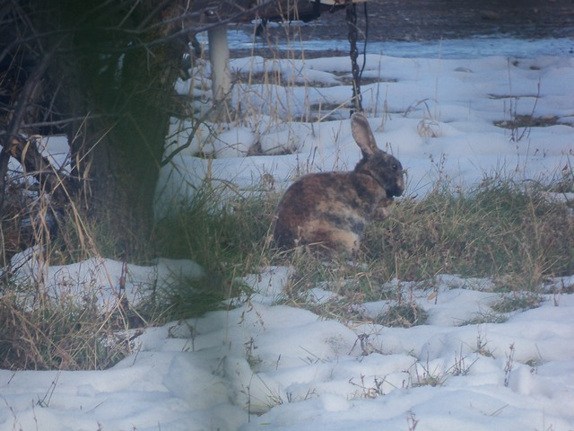 Brown Spotted Bunny